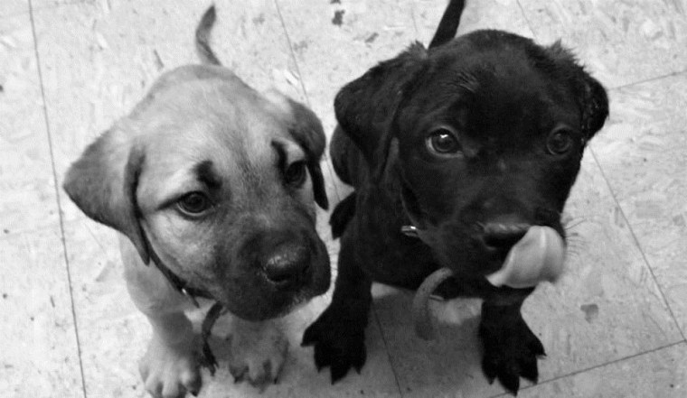 Image: Parvo Puppies