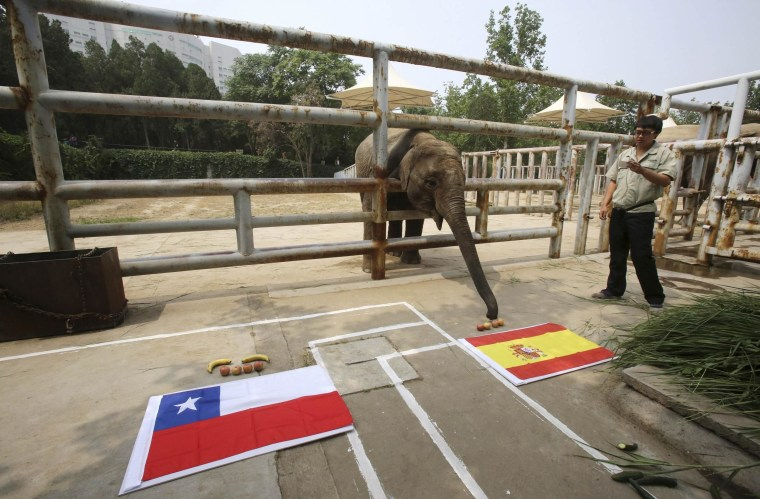 Image: Asian elephant Yalu, reaches for the food in front of a Spanish national flag as it takes part in a World Cup match prediction event at a zoo in Jinan
