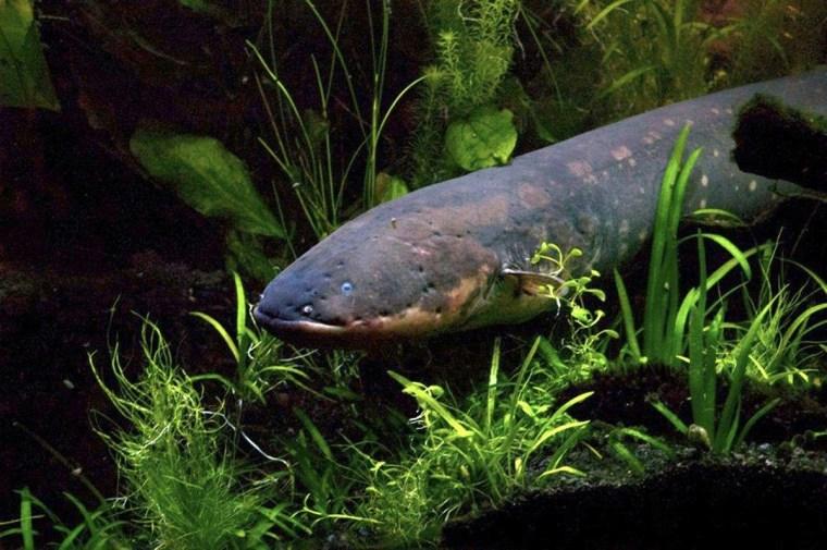 Image: Electric eel