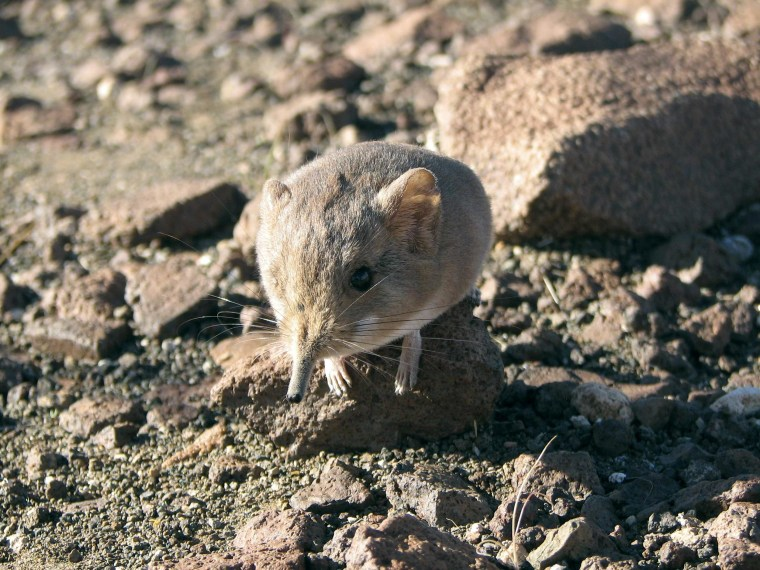 Image: Handout of a Macroscelides micus elephant shrew found in the remote deserts of southwestern Africa
