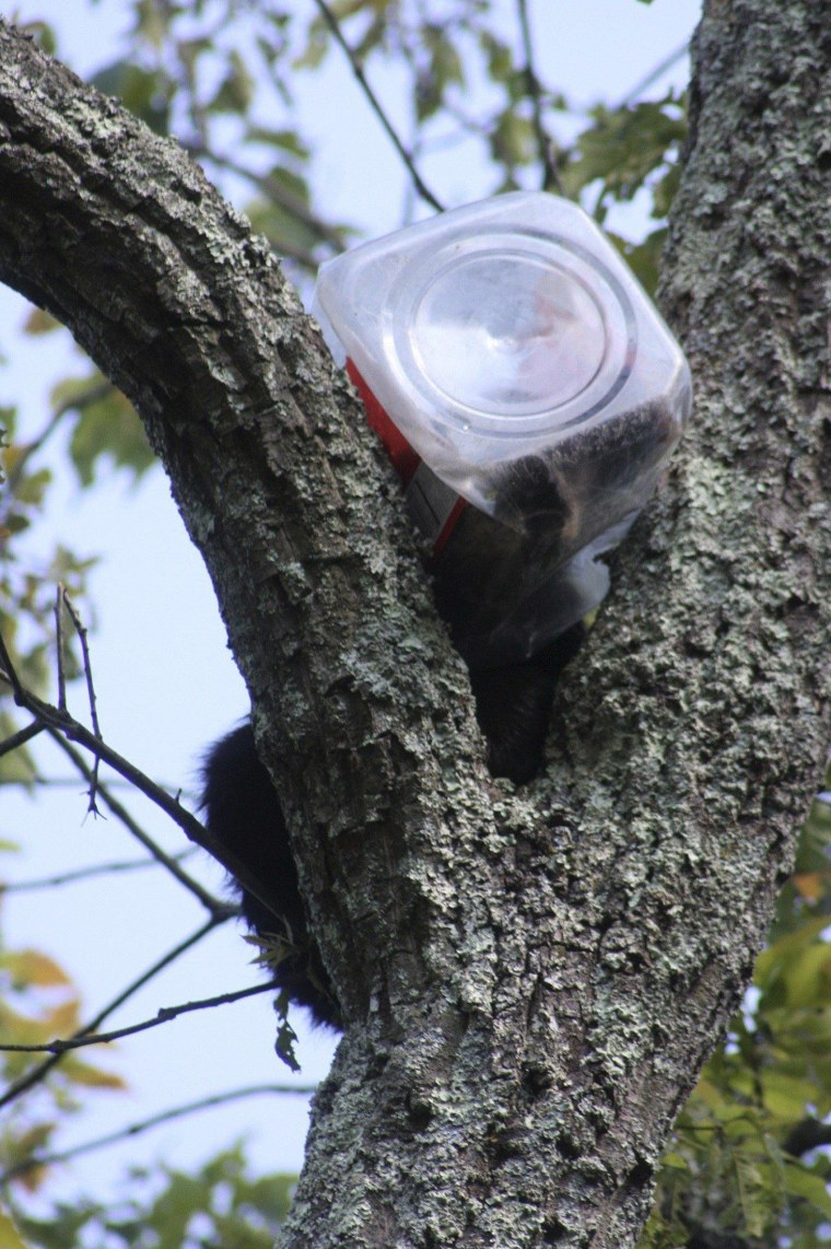 Image: Handout picture of a bear cub who had to be rescued from a tree after getting his head stuck in a cookie jar