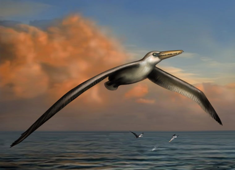 An artist's conception shows how the 25 million-year-old bird known as Pelagornis sandersi might have looked in life.