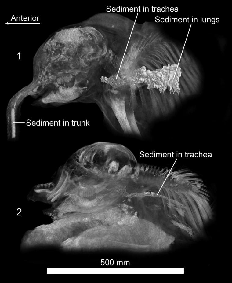 Image: Sediment inside mammoths
