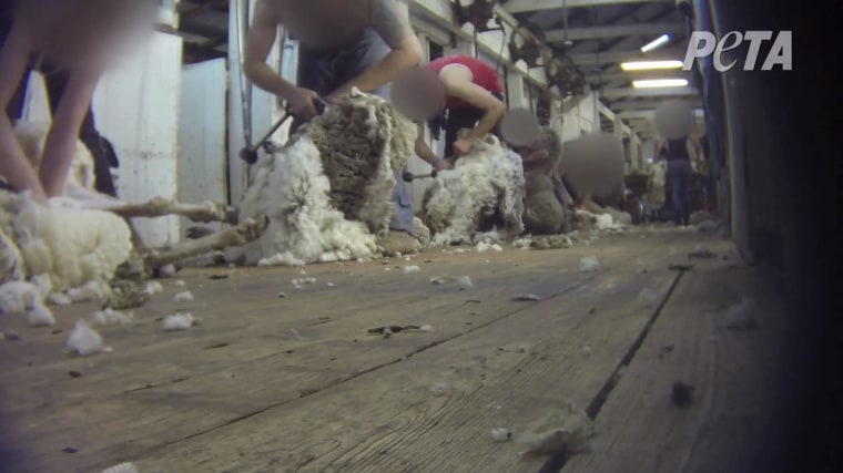 Image: Workers at an Australian ranch sheer sheep in a makeshift production line.