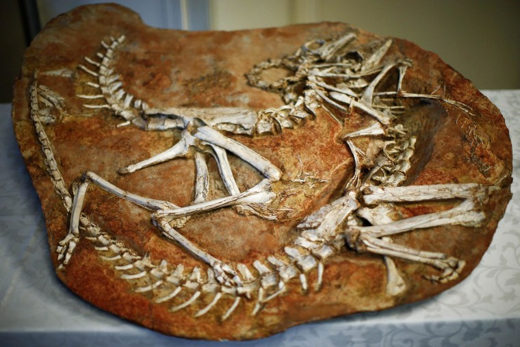 Image: Two Gallimimus dinosaur skeletons are on display during a repatriation ceremony at the United States Attorney's Office of Southern District in New York