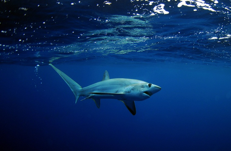 Image: An image of a Big Eye Thresher Shark off swimming in the Gulfstream, on Sept. 23, 2012 off of Fort Lauderdale, Fla.