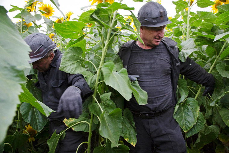 Image: Ukrainian coal miners wade through a field of sunflowers as they search the site of a crashed Malaysia Airlines passenger plane