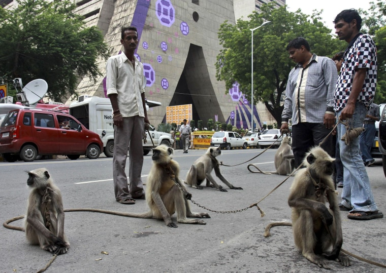 Image: Langur monkeys stand on leash held by their owners in front of the Commonwealth Games headquarters