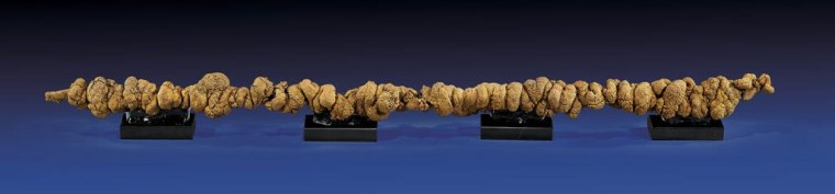 Image: Long piece of fossilized dung (known as a coprolite)