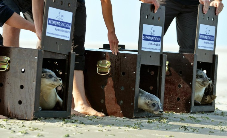 Image: Reintroduction to the wild of common seals