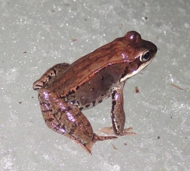Image: Wood frog