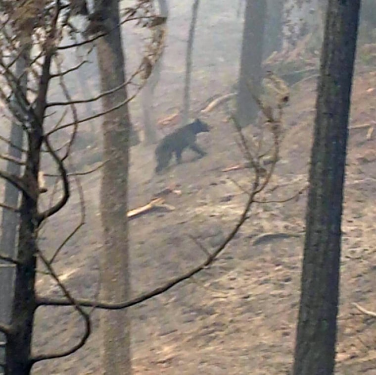 A bear runs through smoke in the Sierra foothills in Sierra National Forest, Calif, on Tuesday, July 29, 2014. Fire crews gained ground Tuesday on two of the largest wildfires in California, lifting evacuation orders for about half the homes in the path of a blaze in Yosemite National Park and redeploying firefighters battling another fire in the Sierra Nevada foothills east of Sacramento.
