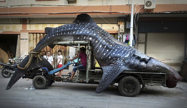 Image: A fisherman transports a dead whale shark after it was caught in fishermen's net, in Yangzhi county