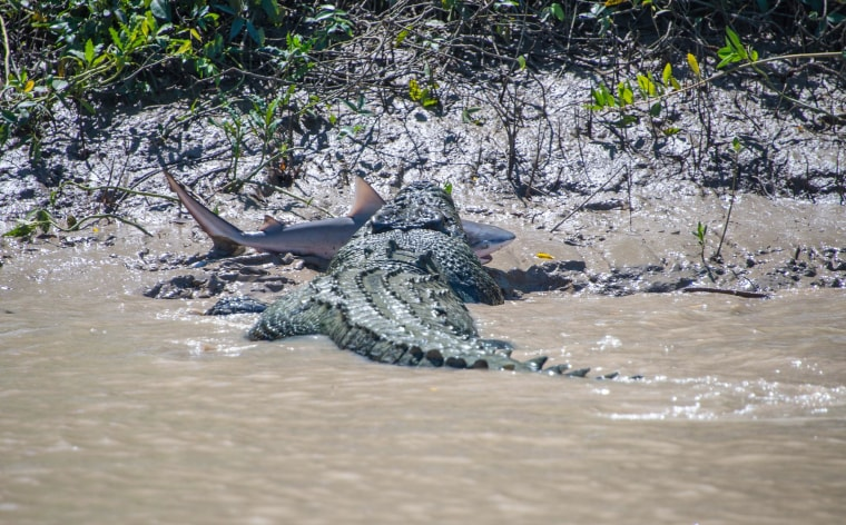 Image: A 5.5-meter crocodile makes mince meat out of a bull shark