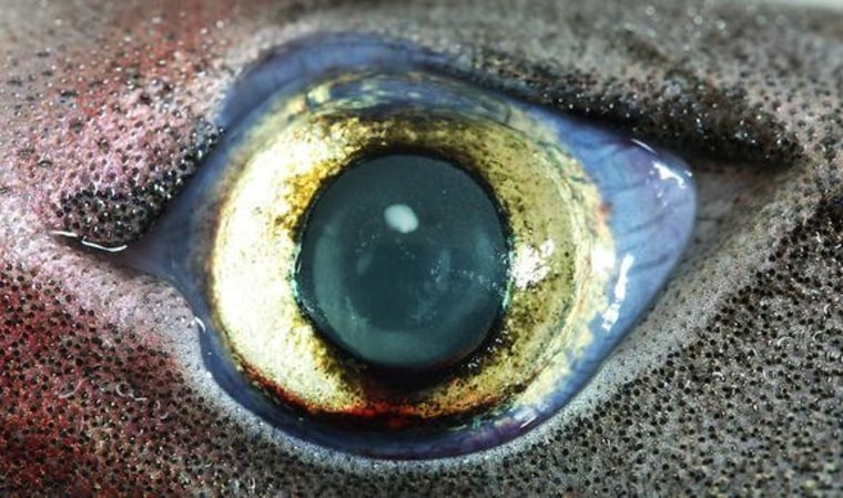 Image: Eye of bioluminescent lantern shark