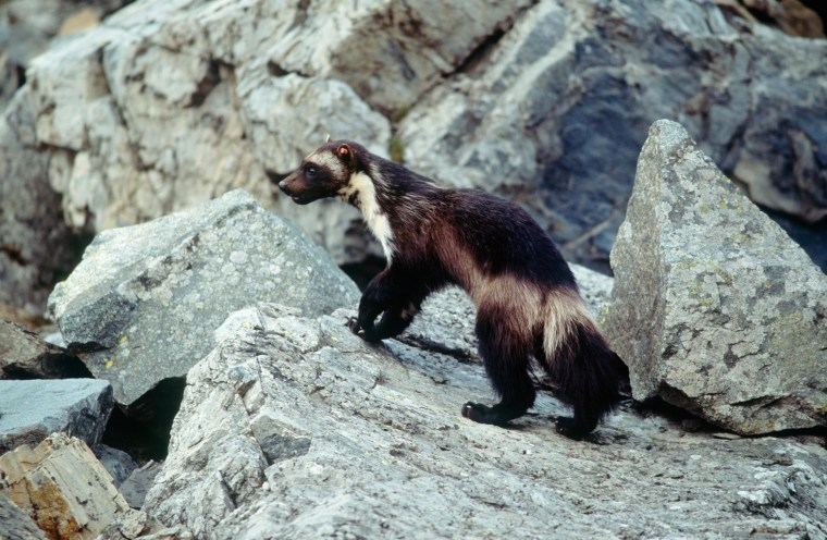 Image: A wolverine