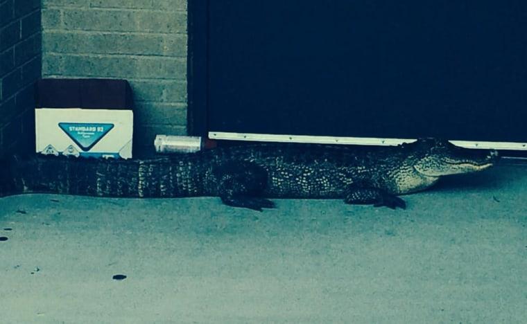 Image: An alligator showed up at Beck Junior High on Wednesday morning.