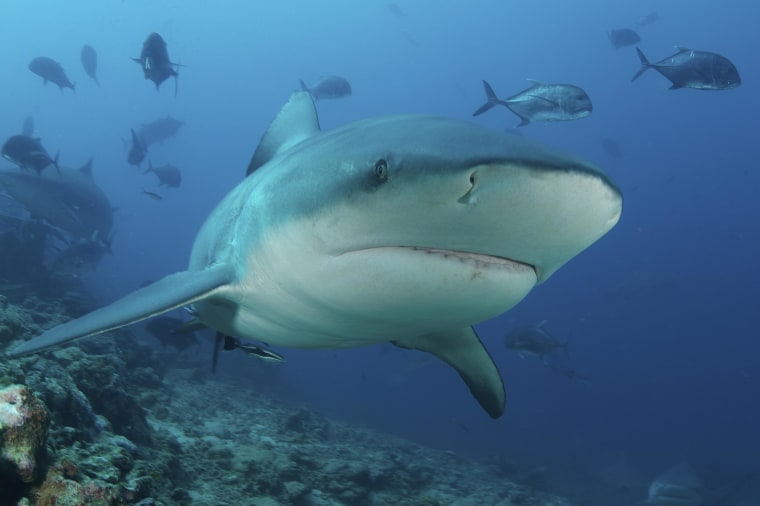 Image: A close-up and engaging view of a large Bull Shark