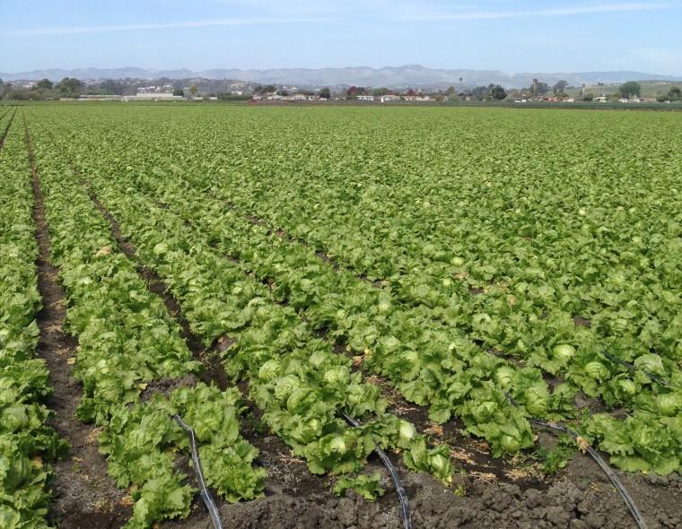 Image: Head lettuce field