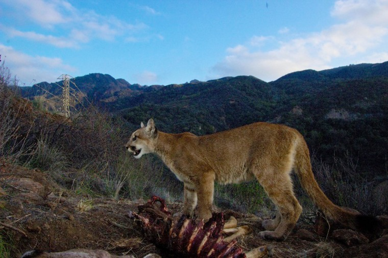 Mountain Lions That Make L.A. a Wild Place Are Under Pressure