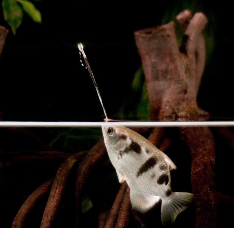 Image: Archerfish target their prey with jets of water they spit from their mouths