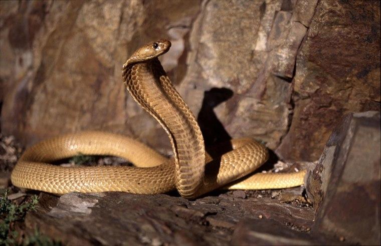 Cape Cobra a dangerous beauty