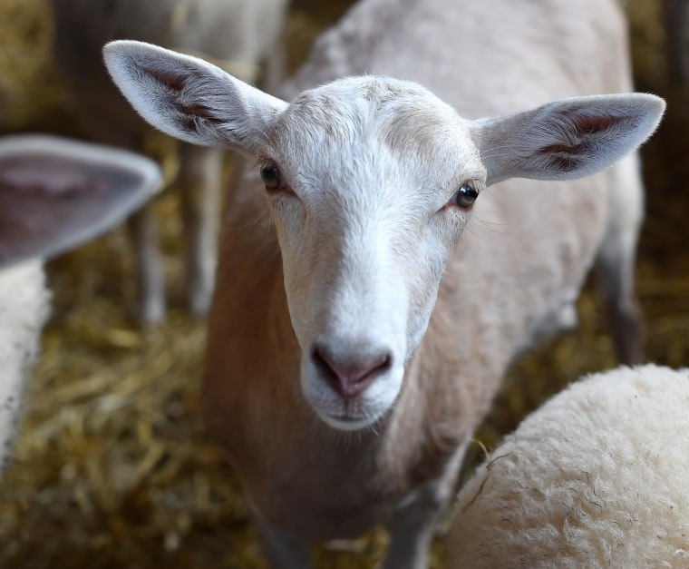 A six-month-old hybrid of sheep and goat stands in a sheepfold in Deiderode, near Goettingen, Germany, on Aug. 27.