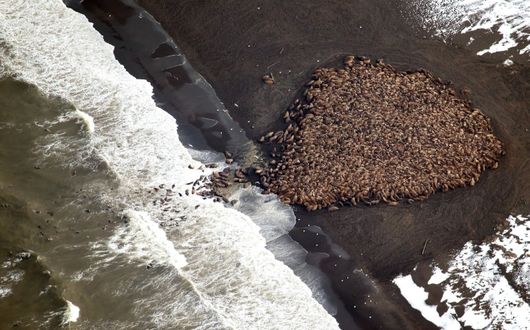Image: Some 1500 walrus are gather on the northwest coast of Alaska