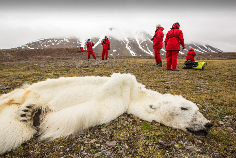 Image: A male polar bear that starved to death as a consequence of climate change, according to scientists