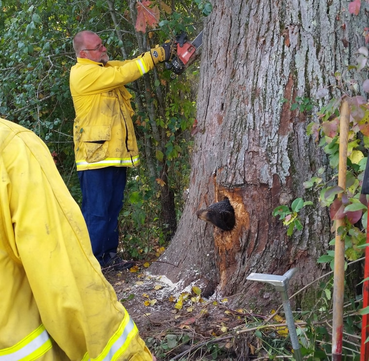 Image: two cubs climbed into a tree and debris fell down, sealing the hole off so they couldn't get out