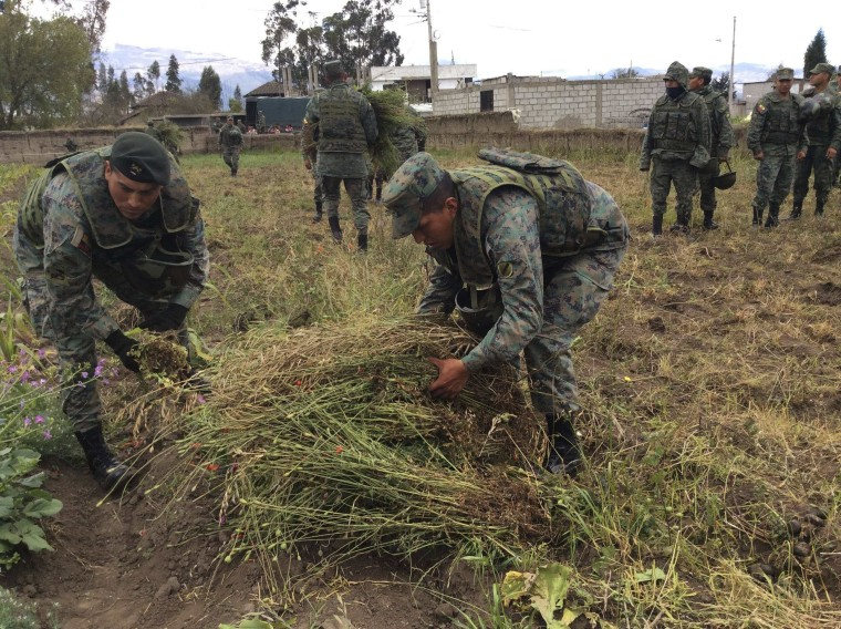 Ecuadorean military personnel pick up poppy plants to be sent for destruction, in Pillaro September 4, 2014. Authorities destroyed more than 36,000 poppy plants in the villages of San Miguel de Chinintahua, San Antonio and Huapante Chico around Pillaro on Thursday, reported local media.