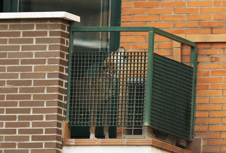 Excalibur, the dog belonging to a nursing assistant infected with Ebola, barks from a balcony in Madrid, Spain, on Oct. 8, 2014.