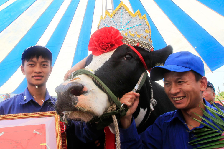 Image: A winning cow is crowned during Miss Milk Cow annual beauty contest in Moc Chau plateau, 200 km northwest of Hanoi