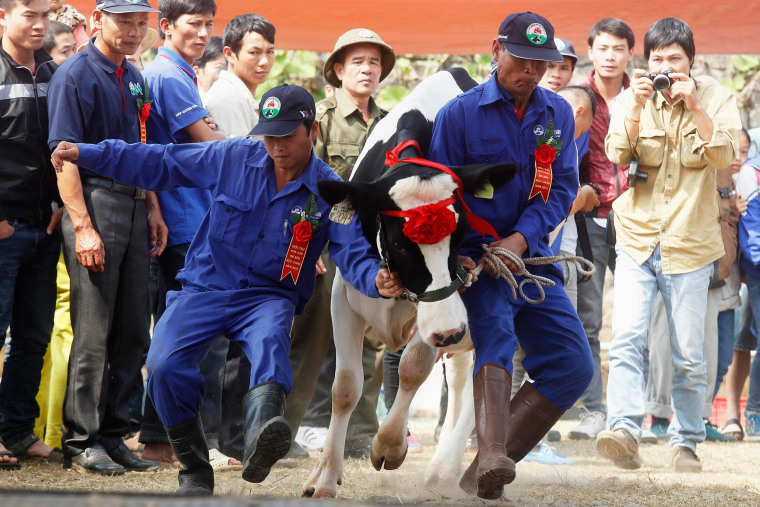 """Image: A cow is shown to the crowd during the """"Miss Milk Cow"""" beauty contest in Moc Chau, Vietnam."""