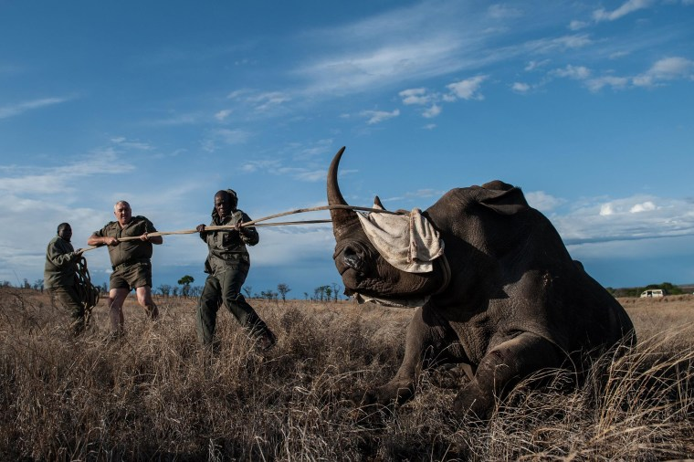 Dr. Marius Kruger, center, and members of the Kruger National Park keep the head of a rhino up during a white rhino relocation capture on Oct. 17.