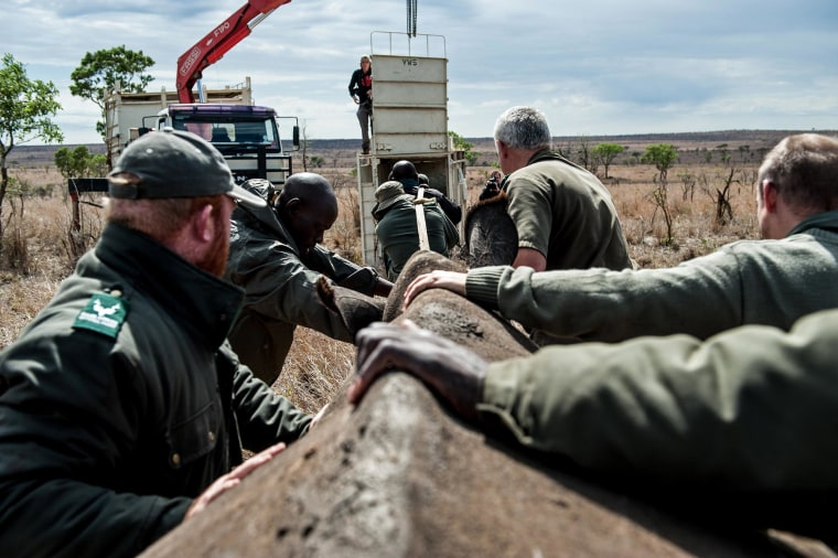 Image: Members of the Kruger National Park Veterinary Wildlife Services in South Africa guide a sedated white rhino toward a loading truck