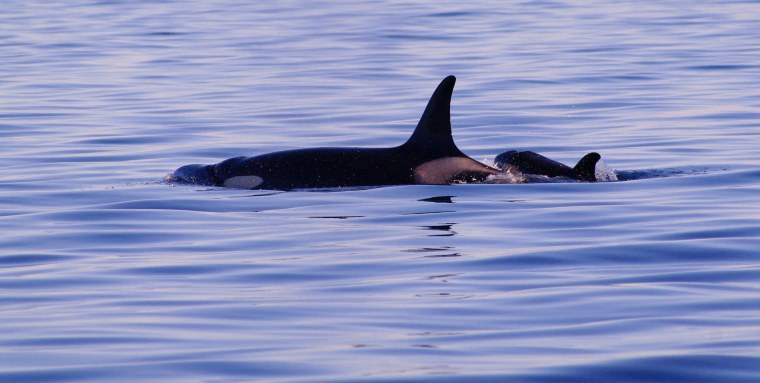 Image: Baby Orca
