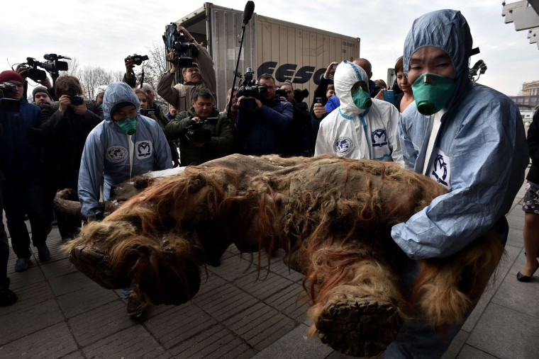 Image: A preserved baby mammoth