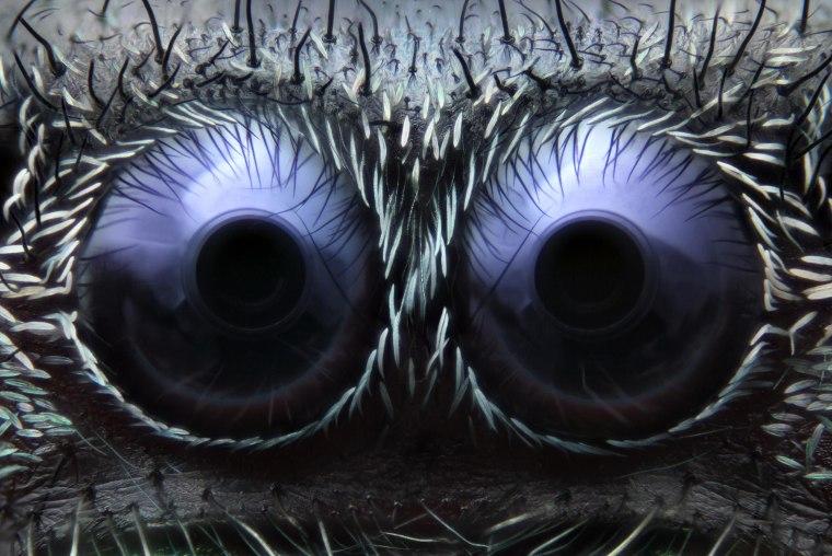 Image: Jumping Spider eyes