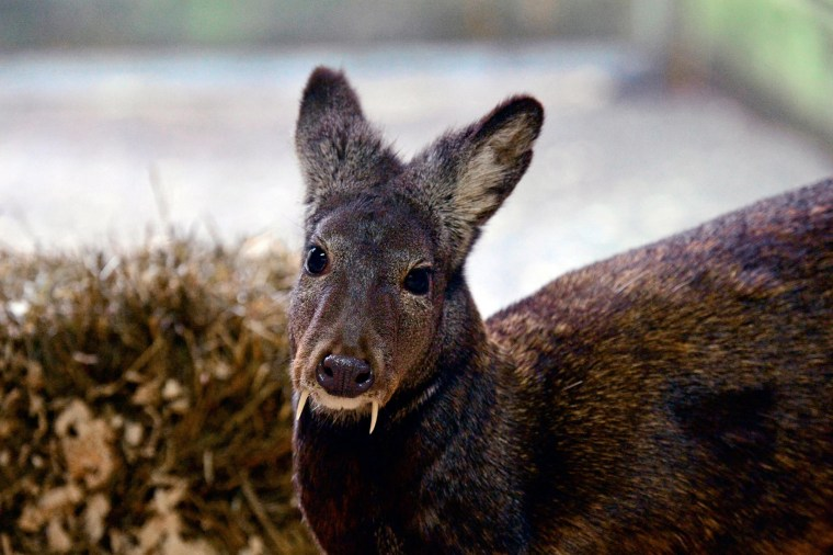 More than 60 years after its last confirmed sighting, a strange deer with vampire-like fangs still persists in the rugged forested slopes of northeast Afghanistan, according to a research team led by the Wildlife Conservation Society.