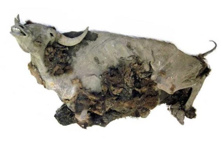 Image: Bison mummy