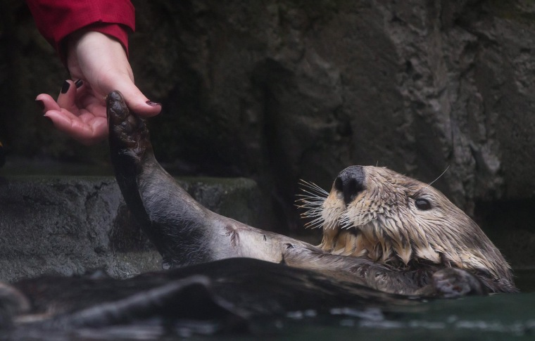 A trainer checks on rehabilitated sea otter Walter, who was blinded after a shotgun blast to the face near Tofino, British Columbia, Canada, during feeding after he was released into an enclosure with a female for the first time at the Vancouver Aquarium in Vancouver, British Columbia, Canada on Thursday, Nov. 6, 2014. Walter underwent more than a year of treatment and rehabilitation after being rescued in October 2013 and was deemed non-releasable by Fisheries and Oceans Canada.