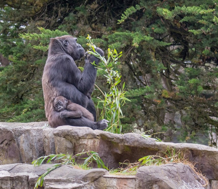 San Francisco Zoo's female western lowland gorilla, Kabibe, seen hugging another gorilla, was killed in an accident Friday.
