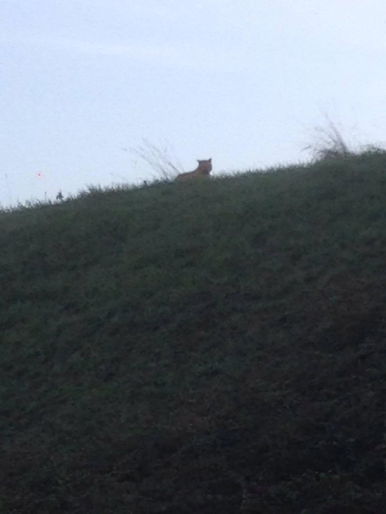The town Montrevain, France, posted this image on Facebook as a warning to local residents that a young tiger was on the loose.