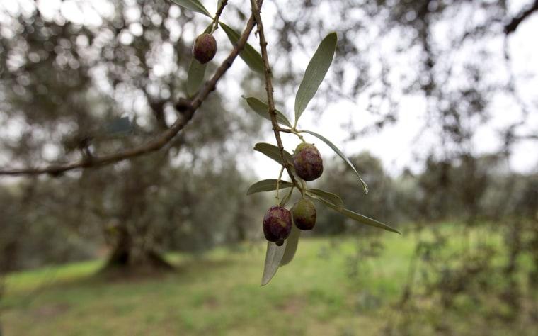 Image: Damaged olives