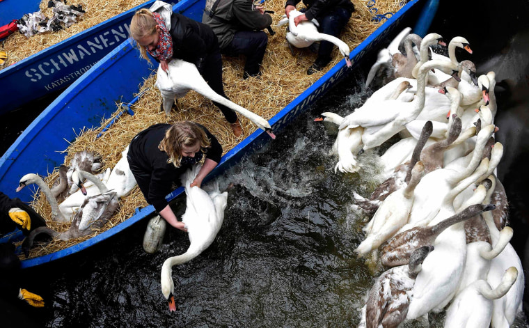 Image: Swans are caught in a small lock after being rounded up from Hamburg's inner city lake Alster