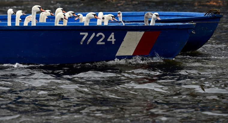 Image: Swans sit in a boat after they were rounded up from Hamburg's inner city lake Alster