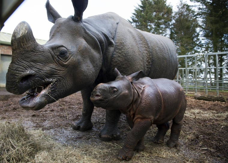 Image: Rhinos at the Whipsnade Zoo in 2013