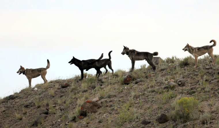 The Lamar Canyon wolf pack moves on a hillside in Yellowstone National Park, Wyoming. As the progeny of wolves reintroduced to Yellowstone and central Idaho in 1995 and 1996 spread across the West, an accidental experiment has developed. In neighboring Idaho, the number livestock attacks rose dramatically as the numbers of wolves killed by hunters and wildlife agents also increased.