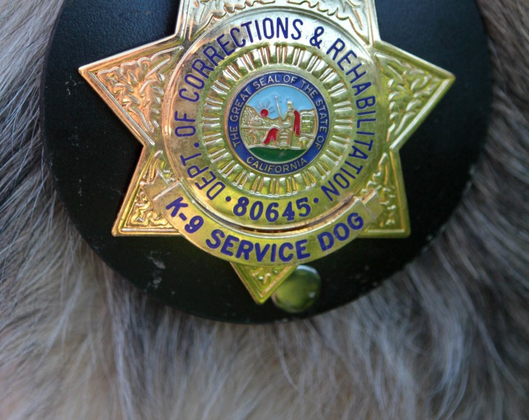 In this photo taken Wednesday, Aug. 18, 2010,  the badge of Correctional K-9 , Caesar, a 7-year-old Belgian Malinois, is seen on the dog at a training facility in Galt, Calif.  Caesar is one of five  dogs specially trained to sniff out cell phones that have been smuggled into California prisons.